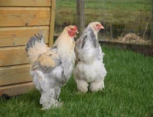 Grote Kippen
