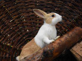 Hollander konijn