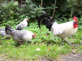 Groninger Meeuw kippen