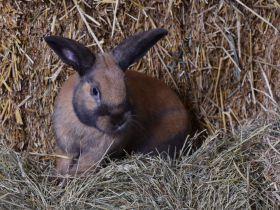 Thüringer konijn